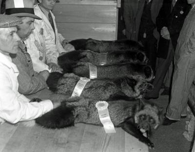 Fox breeders show