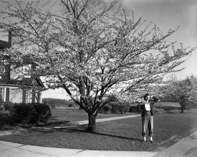 Barkewell, Mrs., Cherry Trees