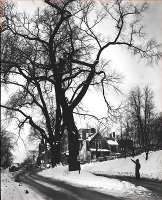 Trees on Bostwick Avenue